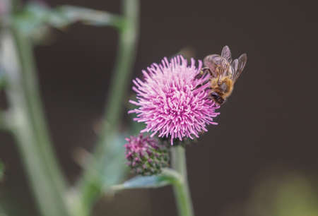 Honey bee collecting pollen from blooming creeping thistle flower. Banco de Imagens