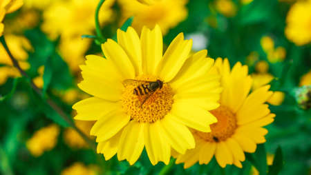 Wasp resting on a big yellow daisy flower in a sunny day. Banco de Imagens