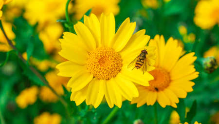 Wasp resting on the petals of a big yellow daisy flower in a sunny day. Banco de Imagens