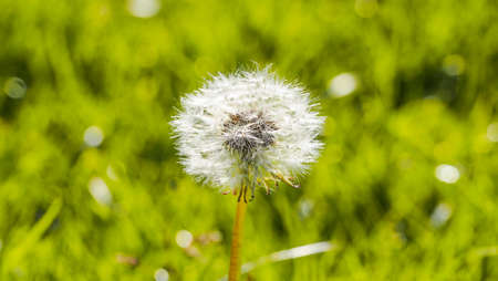 Fluffy dandelion in the garden in a sunny day.Green background.