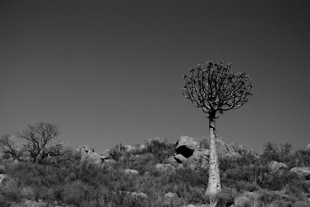 quiver: Quiver Tree in leefgebied