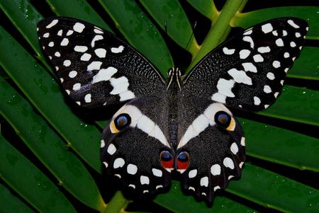 cycad: Citrus Swallowtail on cycad