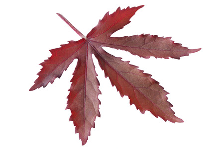 canadian icon: Red maple leaf on white background Stock Photo