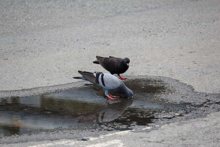eagerly: Pigeon Drinking Water From Flooding On Street Stock Photo
