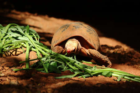 convolvulaceae: A Tortoise Eating Convolvulaceae Among Light And Shadow Stock Photo