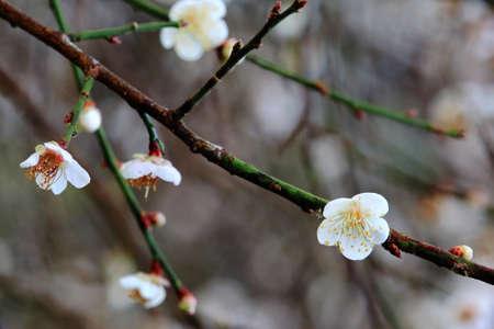 plum flower: Beautiful Plum Flower On The Branch Stock Photo