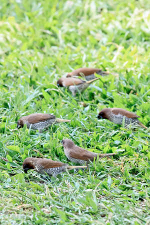 masses: Masses of Scaly-breasted Munia Finding Food On Green Grass