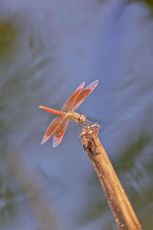 arthropod: Closed Up Dragonfly On A Stem