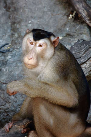 beware: Beware of the Macaque Monkey Stock Photo