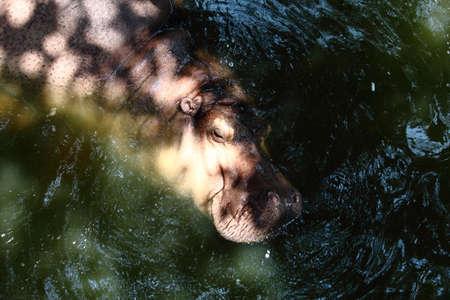soak: Hippopotamus Enjoying A Soak In Water Stock Photo