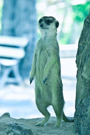 at meerkat: Beware of the Meerkat