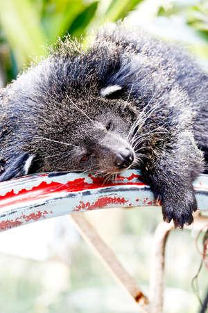 bearcat: Lazy Bearcat Lying Down On Steel Frame Stock Photo