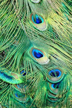 plumas de pavo real: Modelo colorido de las plumas del pavo real