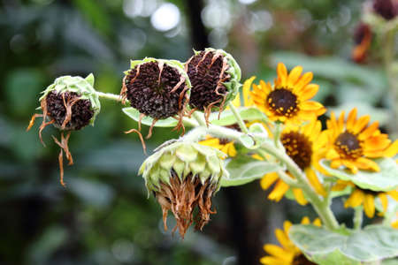 withered: Withered Sunflowers With Blooming Sunflowers Background