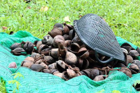 Pile of Pinari Shell With Plastic Sieve