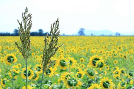 sorgo: Sorgo Awn con campos de girasol amarillo de fondo