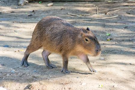 Capybara Zdjęcie Seryjne