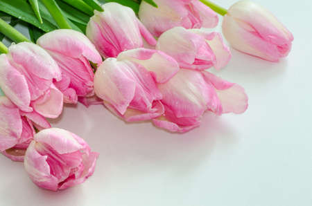 bunch of pink tulips on white  photo