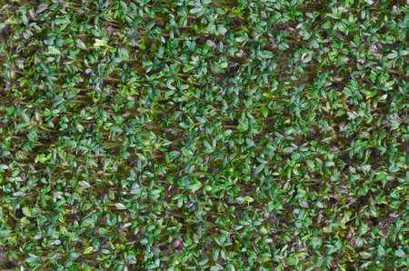 detail of fresh green cress Stock Photo
