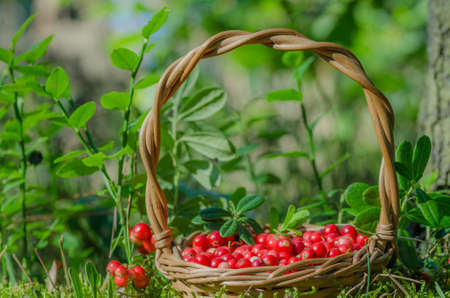 undergrowth: fruits of forest (cowberries) in basket
