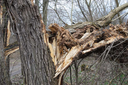 crack willow: broken old  willow tree trunk