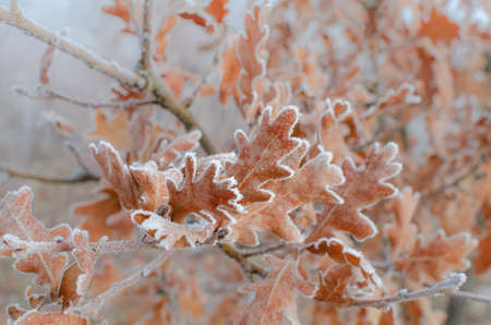 close up to oak leaves covered with hoarfrost photo