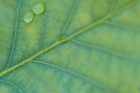 close up to green oak leaf photo
