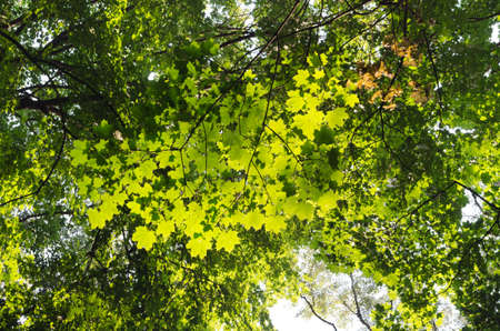 back lit: green maple leaves back lit Stock Photo