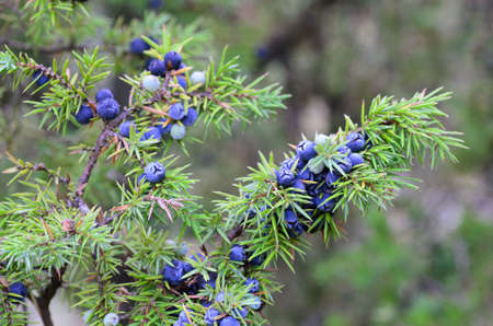 close up to juniper berries