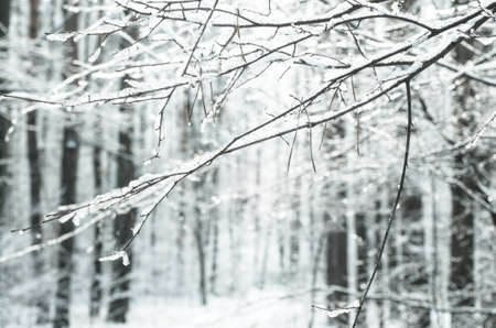 winterly: tree twig covered with snow