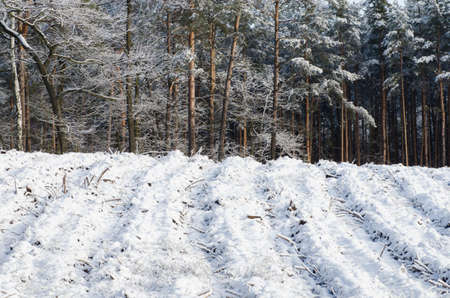 winterly: winter forest covered with snow on sunny day Stock Photo