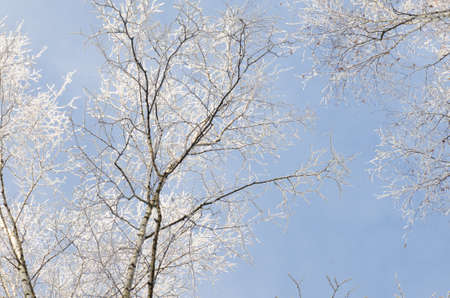 winterly: tree branches covered with snow against blue sky on sunny day
