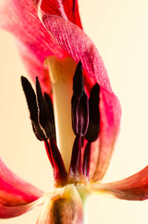 withered: closeup to red withered tulip Stock Photo