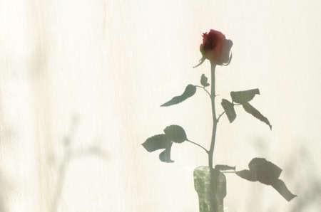 courtain: rose shadow on white textile courtain