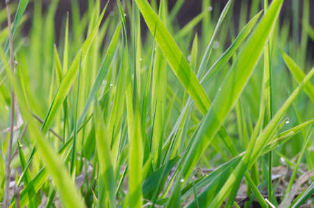 closeup of fresh spring green grass