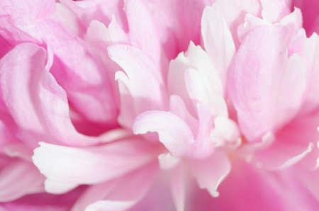 odorous: pink peony flower petals   macro