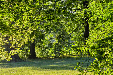 linden: Linden trees on sunny morning Stock Photo