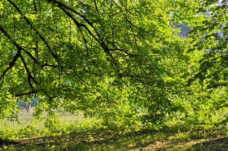 linden tree: Linden tree on sunny morning