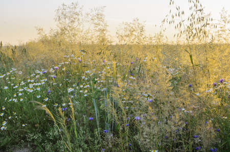 wild flowers: summer meadow with wild flowers