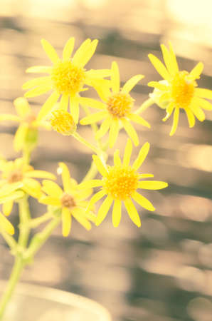 yellow wildflowers: close up to yellow wildflowers