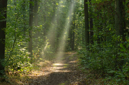 pathway in morning forest with sunbeams Stock Photo