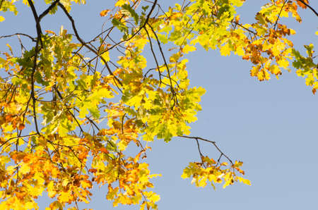 twig: fall oak twig with yellow leaves Stock Photo