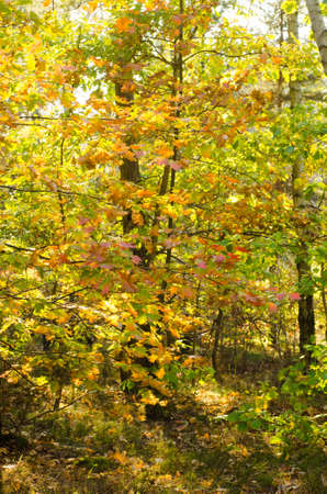 enviromnment: fall colors in oak forest