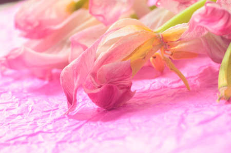 wilted: closeup to wilted pink tulips Stock Photo