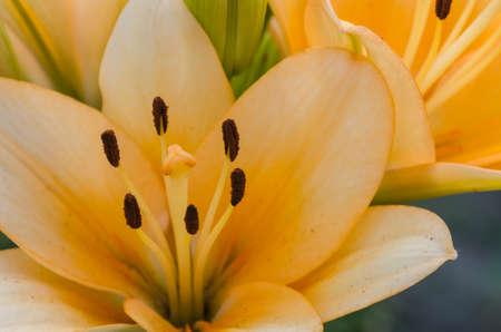 orange lily: closeup to orange lily flower Stock Photo