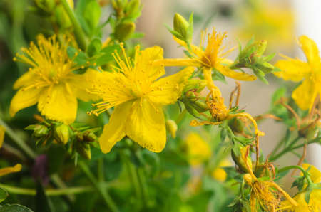 St. Johns wort herbaceous perennial plant Stock Photo