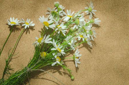 perennial plant: chamomile herbaceous perennial plant flowers
