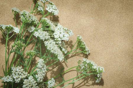 yarrow: common yarrow herbaceous perennial plant