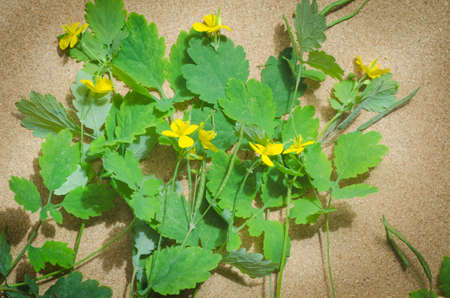 herbaceous: greater celandine, tetterwort,  herbaceous perennial plant Stock Photo