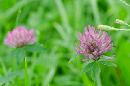 red clover: red clover flowers in summer meadow Stock Photo